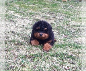 Bernedoodle Puppy for sale in APPLE CREEK, OH, USA