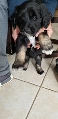 View Ad: Goldendoodle-Polish Lowland Sheepdog Mix Litter of Puppies