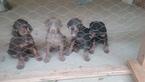 Doberman Pinscher Puppy For Sale in AMERICUS, GA, USA
