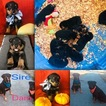 Rottweiler Puppy For Sale in ROY, WA, USA