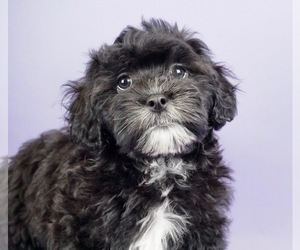 Shih-Poo Puppy for Sale in WARSAW, Indiana USA