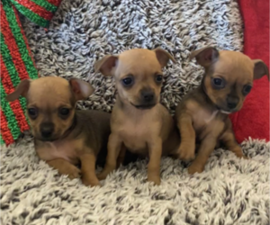 Chihuahua Puppy for sale in DENVER, CO, USA