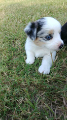 Aussie-Corgi Puppy For Sale in VINTON, LA, USA