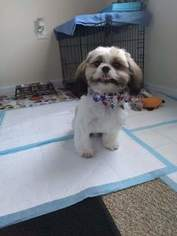 Shih Tzu Puppy for sale in MEM, TN, USA
