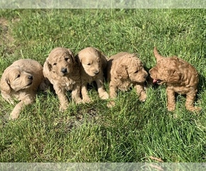 Goldendoodle Puppy for sale in TEHACHAPI, CA, USA