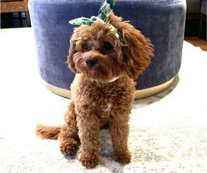 Cavapoo Puppy for sale in ANNAPOLIS, MD, USA