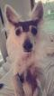 Small #3 American Eskimo Dog-American Hairless Terrier Mix