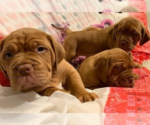 Dogue de Bordeaux Puppy for sale in GRAHAM, WA, USA