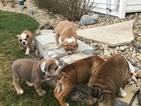 Olde English Bulldogge Puppy For Sale near 61467, Oneida, IL, USA
