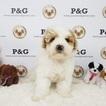 Maltipoo Puppy For Sale in TEMPLE CITY, CA, USA