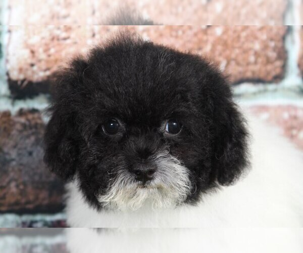 Medium Photo #2 Shih-Poo Puppy For Sale in BEL AIR, MD, USA
