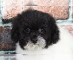 Small Photo #2 Shih-Poo Puppy For Sale in BEL AIR, MD, USA