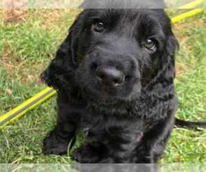 Cocker Spaniel Puppy for sale in CO SPGS, CO, USA