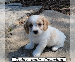 Cavachon Puppy for Sale in HOPKINSVILLE, Kentucky USA