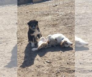 Mother of the Australian Shepherd puppies born on 02/01/2021