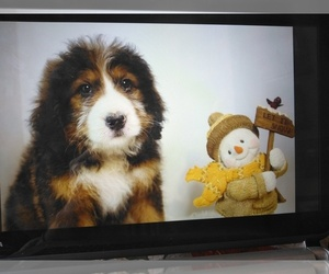 Bernedoodle Puppy for Sale in SOUND BEACH, New York USA