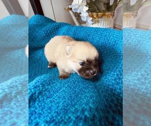 Pomeranian Puppy for sale in BANKS SPRINGS, LA, USA