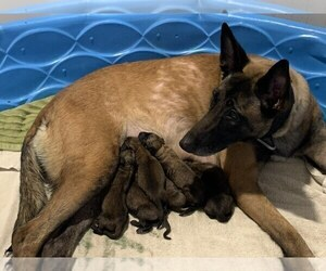 Belgian Malinois Puppy for sale in CHANDLER, AZ, USA