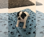 French Bulldog Puppy For Sale in HOLLYWOOD, FL, USA