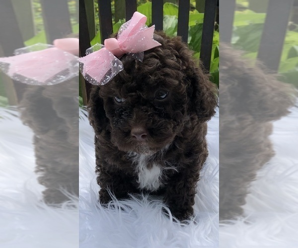 View Ad Bernedoodle Poodle Toy Mix Puppy For Sale Near