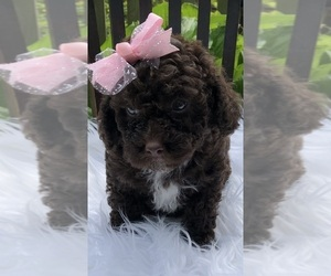 Bernedoodle-Poodle (Toy) Mix Puppy for Sale in RICHMOND, Michigan USA