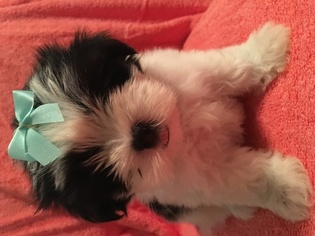 Maltipom Puppy For Sale in CLAY CITY, KY, USA