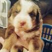 Australian Shepherd Puppy For Sale in PAXTON, MA, USA