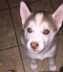 Siberian Husky Puppy for sale in UNIONDALE, IN, USA