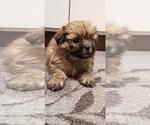 Small Photo #2 Zuchon Puppy For Sale in SHAWNEE, KS, USA