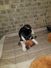 Akita Puppy For Sale in MEMPHIS, TN, USA