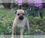 Puppy 3 Puggat