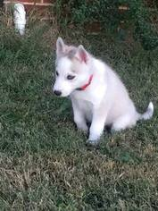 Siberian Husky Puppy For Sale in JOPLIN, MO, USA