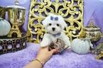 Female Maltese Puppy