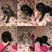 Shepadoodle Puppies