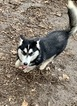 Siberian Husky Puppy For Sale in MORGANTOWN, IN, USA
