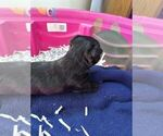 Small Photo #6 Scottish Terrier Puppy For Sale in WHITEWOOD, SD, USA