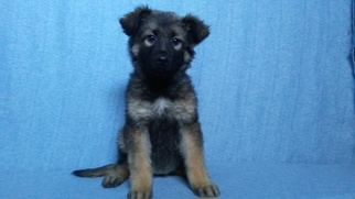 German Shepherd Dog Puppy For Sale in LOGAN, OH, USA
