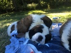 Saint Bernard Puppy For Sale in DERRY, NH