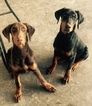 Puppy 4 Doberman Pinscher