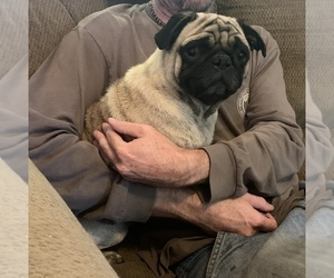 Father of the Pug puppies born on 09/30/2020