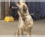 Small #10 Great Dane-Labrador Retriever Mix