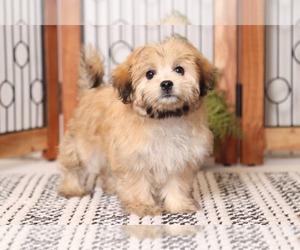Mal-Shi Dog for Adoption in NAPLES, Florida USA