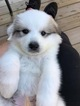 Great Pyrenees Puppy For Sale in DEERFIELD, OH, USA