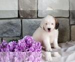 Small #1 Poodle (Miniature)-Saint Bernard Mix