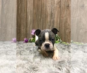 Boston Terrier Puppy for Sale in MYRTLE, Missouri USA