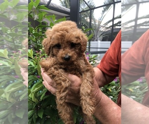 Poodle (Toy) Puppy for sale in CAPE CORAL, FL, USA