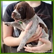 AKC German Shorthair Pointer puppies for sale