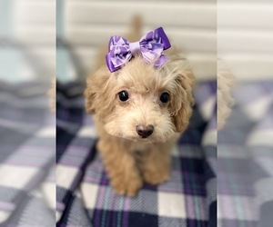 Poodle (Toy) Puppy for sale in CINCINNATI, OH, USA