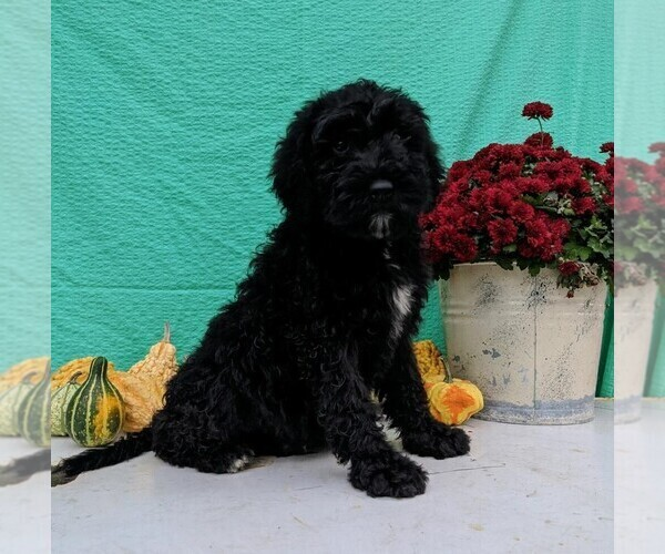 Medium Photo #1 Miniature Bernedoodle Puppy For Sale in FREDERICKSBG, OH, USA