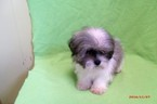 Mal-Shi Puppy For Sale in PATERSON, NJ
